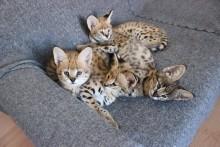serval i kocięta rasy caracal na sprzedaż