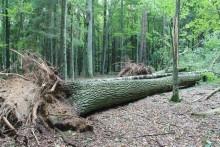 Silny wiatr powalił 20 000 m3 drzew w Puszczy Białowieskiej [zdjęcia]