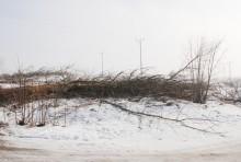 s61wycinka-drzew010.jpg