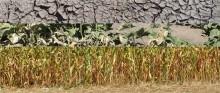 Susza. Gospodarstwa, które straciły 70 proc. plonów, mogą składać wnioski o odszkodowanie