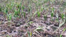 Kolejna transza wsparcia suszowego dla rolników. Dodatkowe 143 miliony zł