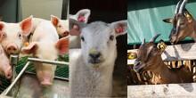 Rolniku, nie zapomnij o spisie zwierząt w twoim gospodarstwie
