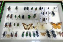Rosjanin wwoził do Polski spreparowane chrząszcze i motyle. Grozi mu 5 lat więzienia