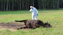 Stoczył śmiertelną walkę. Martwy żubr w Puszczy Augustowskiej [zdjęcia, wideo]