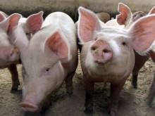 Hodowcy trzody otrzymają wsparcie. Protestująca w Warszawie  Agro Unia: to dzielenie rolników