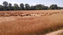 Rolnictwo. Rozpoczęły się żniwa, spadają ceny ziarna