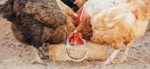 Ptasia grypa, po kilku latach przerwy, znów atakuje. Białoruś wprowadza embargo na polski drób