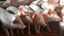 Rolnictwo - nowe przepisy unijne. W chlewni czysto jak w szpitalu, ograniczenia w przewozie trzody