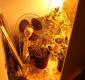 Mieszkaniec powiatu augustowskiego zatrzymany za posiadanie i uprawę konopi [zdjęcia]