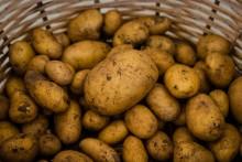 Rolniku, tylko tak unikniesz zakazu sprzedaży ziemniaków