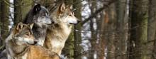 Więcej wilków nad Wigrami